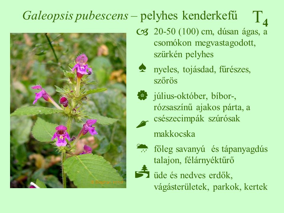 T4T4 Galeopsis pubescens – pelyhes kenderkefű
