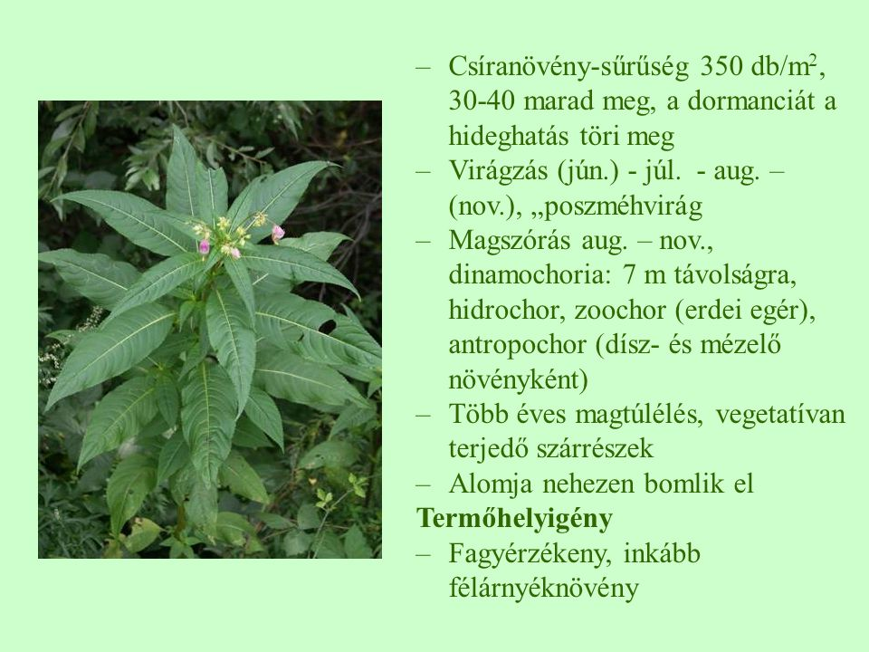 """–Csíranövény-sűrűség 350 db/m 2, 30-40 marad meg, a dormanciát a hideghatás töri meg –Virágzás (jún.) - júl. - aug. – (nov.), """"poszméhvirág –Magszórás"""