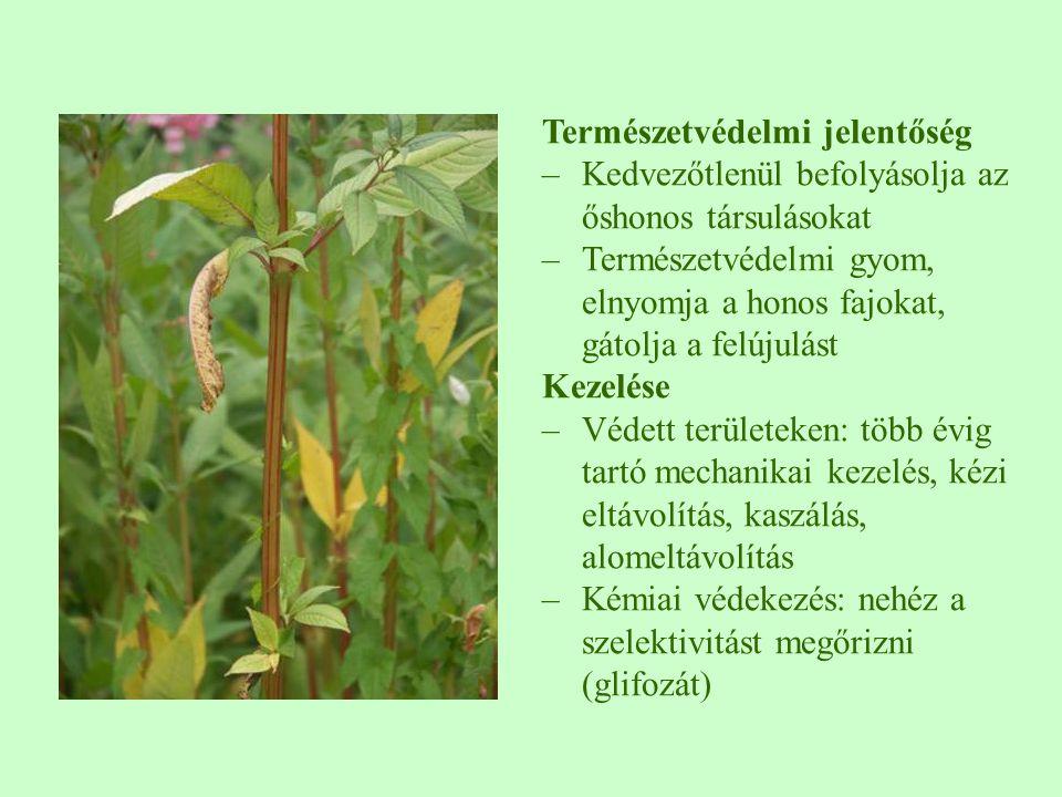 Természetvédelmi jelentőség –Kedvezőtlenül befolyásolja az őshonos társulásokat –Természetvédelmi gyom, elnyomja a honos fajokat, gátolja a felújulást