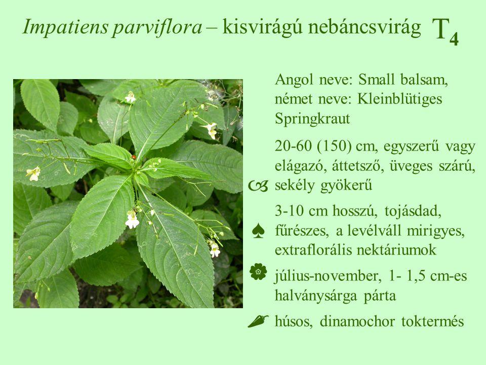 T4T4 Impatiens parviflora – kisvirágú nebáncsvirág Angol neve: Small balsam, német neve: Kleinblütiges Springkraut 20-60 (150) cm, egyszerű vagy elága