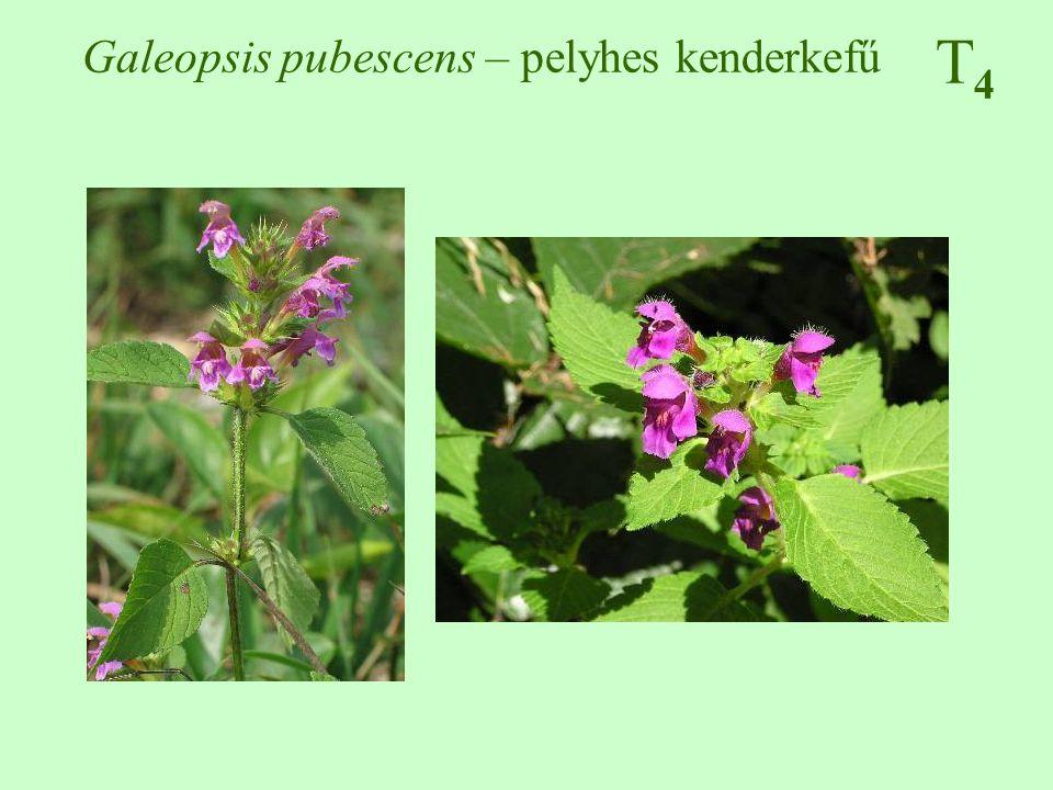 T4T4 Setaria viridis – zöld muhar