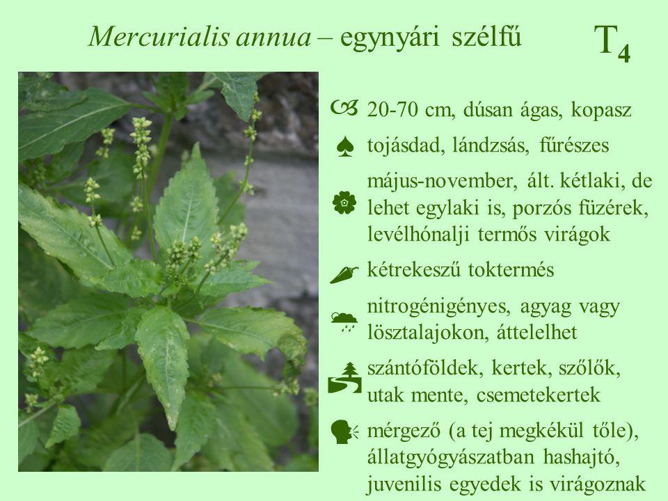 T4T4 Mercurialis annua – egynyári szélfű 20-70 cm, dúsan ágas, kopasz tojásdad, lándzsás, fűrészes május-november, ált. kétlaki, de lehet egylaki is,