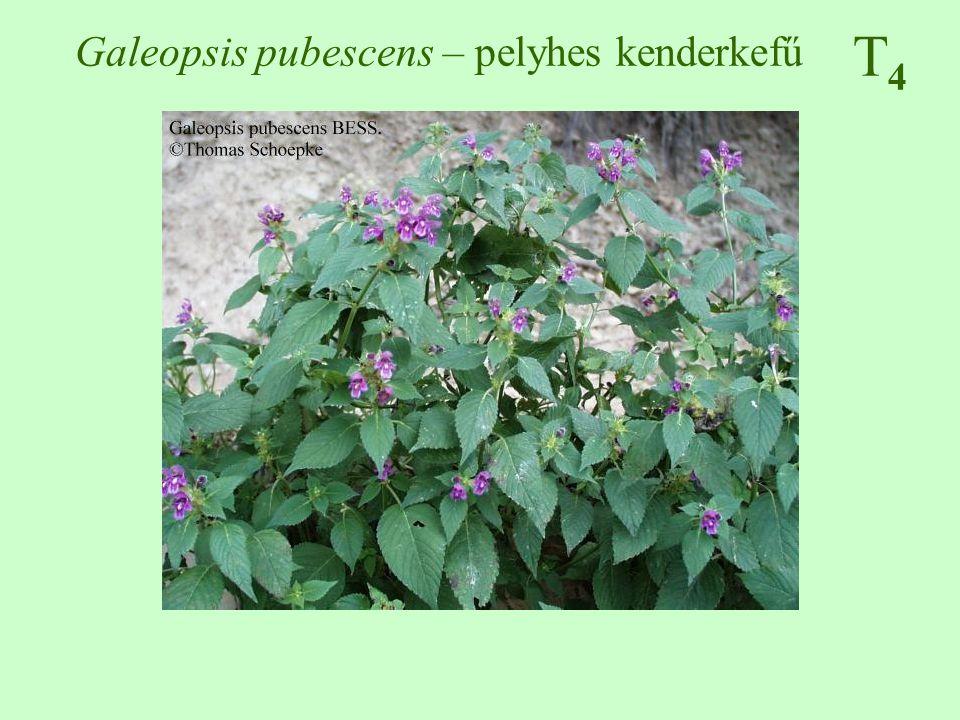 T4T4 Sonchus asper – szúrós csorbóka 50-100 cm, kopasz az alsók szárnyas nyelűek, a felsők ülők, szárölelők, szúrósan fogazott, karéjos június-november, sárga nyelves virágok, fészekvirágzat bóbitás kaszattermés országszerte gyakori szántóföldek, kertek, parlagok, csemetekertek, szőlők, utak mente ♠♠