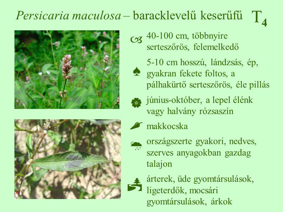 T4T4 Persicaria maculosa – baracklevelű keserűfű 40-100 cm, többnyire serteszőrös, felemelkedő 5-10 cm hosszú, lándzsás, ép, gyakran fekete foltos, a