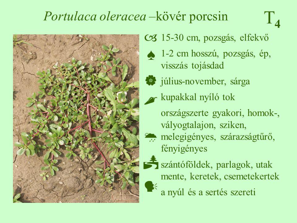 T4T4 Portulaca oleracea –kövér porcsin 15-30 cm, pozsgás, elfekvő 1-2 cm hosszú, pozsgás, ép, visszás tojásdad július-november, sárga kupakkal nyíló t