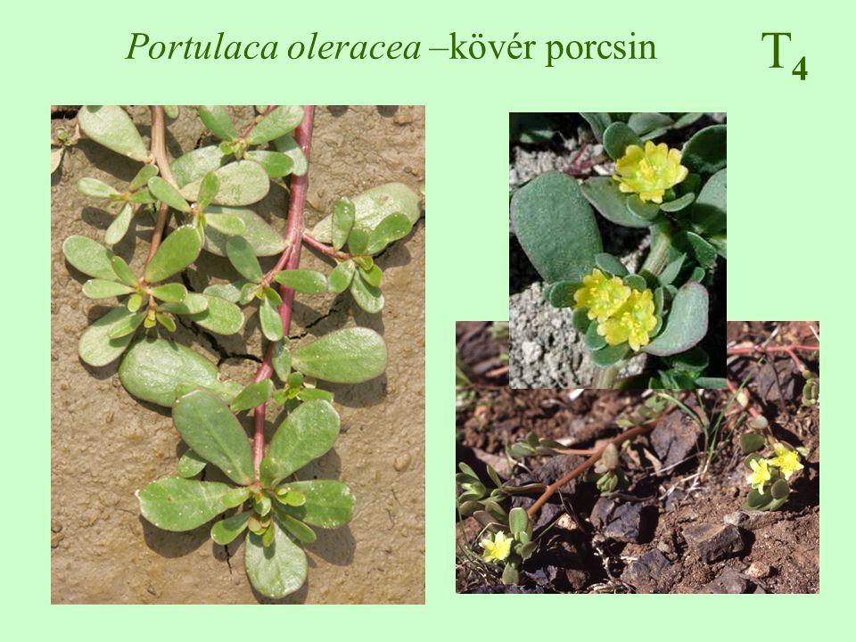 T4T4 Portulaca oleracea –kövér porcsin