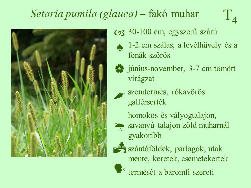 T4T4 Setaria pumila (glauca) – fakó muhar 30-100 cm, egyszerű szárú 1-2 cm szálas, a levélhüvely és a fonák szőrös június-november, 3-7 cm tömött virá