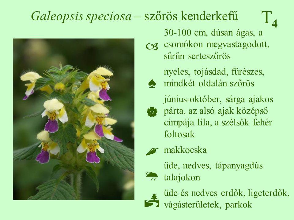 T4T4 Galeopsis speciosa – szőrös kenderkefű 30-100 cm, dúsan ágas, a csomókon megvastagodott, sűrűn serteszőrös nyeles, tojásdad, fűrészes, mindkét ol