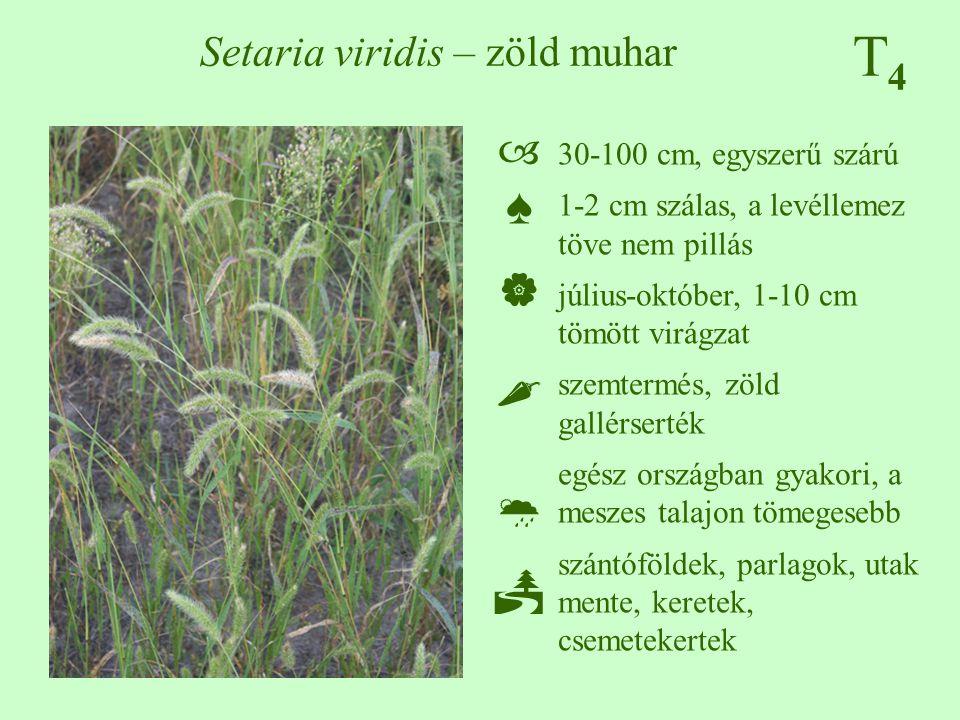 T4T4 Setaria viridis – zöld muhar 30-100 cm, egyszerű szárú 1-2 cm szálas, a levéllemez töve nem pillás július-október, 1-10 cm tömött virágzat szemte