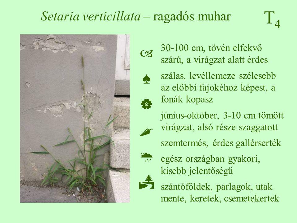 T4T4 Setaria verticillata – ragadós muhar 30-100 cm, tövén elfekvő szárú, a virágzat alatt érdes szálas, levéllemeze szélesebb az előbbi fajokéhoz kép