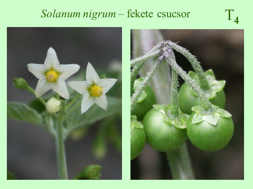 T4T4 Solanum nigrum – fekete csucsor