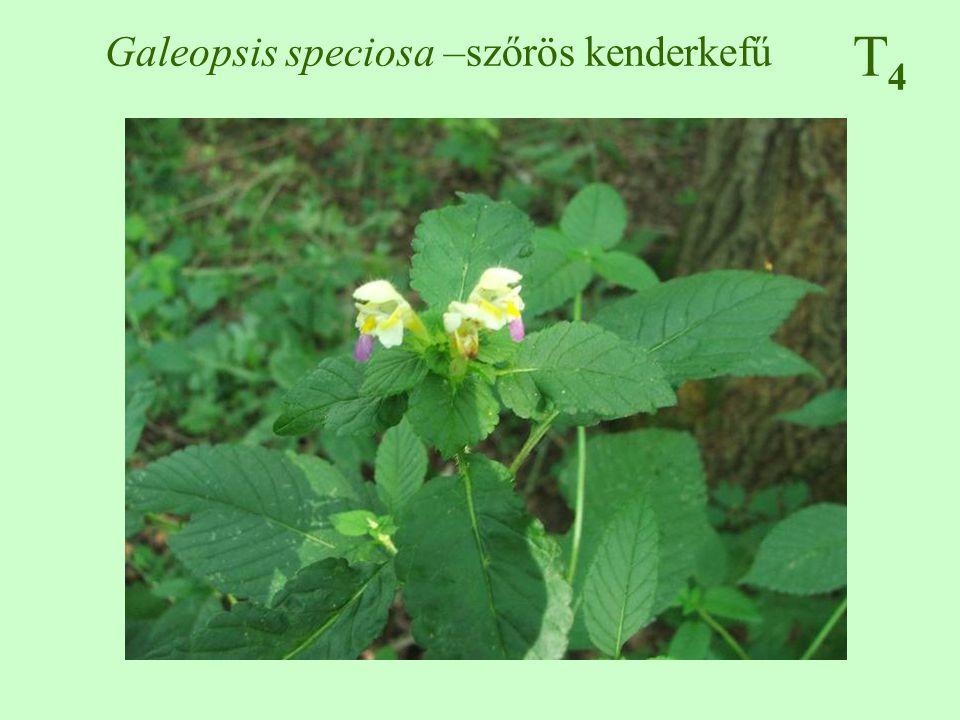 T4T4 Galeopsis speciosa –szőrös kenderkefű