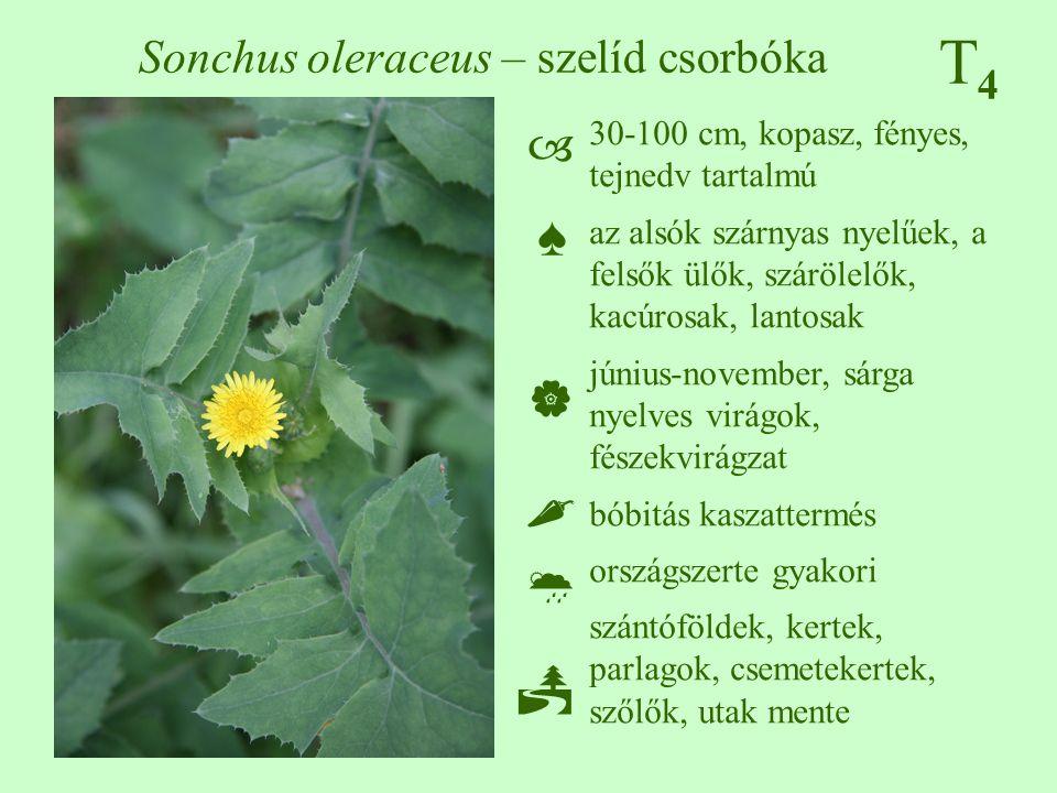 T4T4 Sonchus oleraceus – szelíd csorbóka 30-100 cm, kopasz, fényes, tejnedv tartalmú az alsók szárnyas nyelűek, a felsők ülők, szárölelők, kacúrosak,