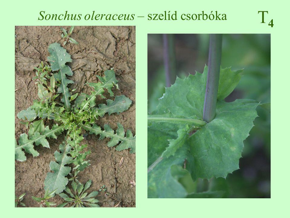 T4T4 Sonchus oleraceus – szelíd csorbóka