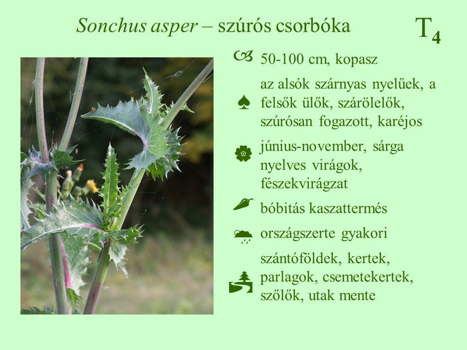 T4T4 Sonchus asper – szúrós csorbóka 50-100 cm, kopasz az alsók szárnyas nyelűek, a felsők ülők, szárölelők, szúrósan fogazott, karéjos június-novembe
