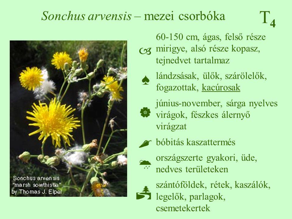 T4T4 Sonchus arvensis – mezei csorbóka 60-150 cm, ágas, felső része mirigye, alsó része kopasz, tejnedvet tartalmaz lándzsásak, ülők, szárölelők, foga
