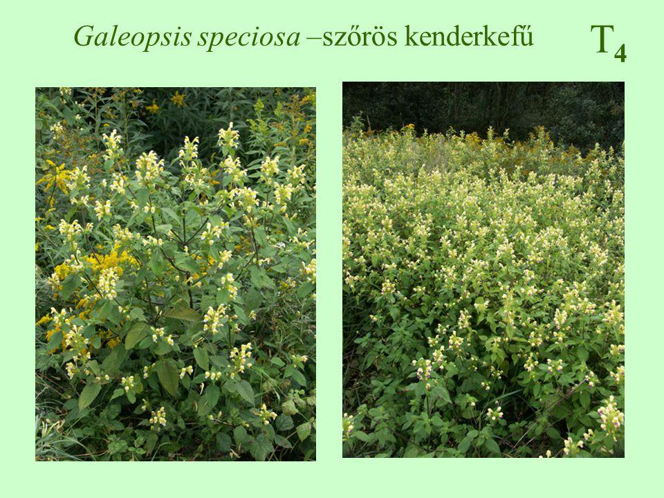 T4T4 Galinsoga parviflora – kicsiny gombvirág 10-80 cm, dúsan ágas, a gyengén bordás, szőrös vagy lekopaszodó átellenes, nyeles, tojásdad, fűrészes május-november, 5 fehér nyelves virág + sárga csöves virág kaszat, növényenként 300 000 termést is hozhat melegigényes, különösen laza talajokon tömeges szántóföldek, parlagok, kertek, szőlők, csemetekertek ♠♠