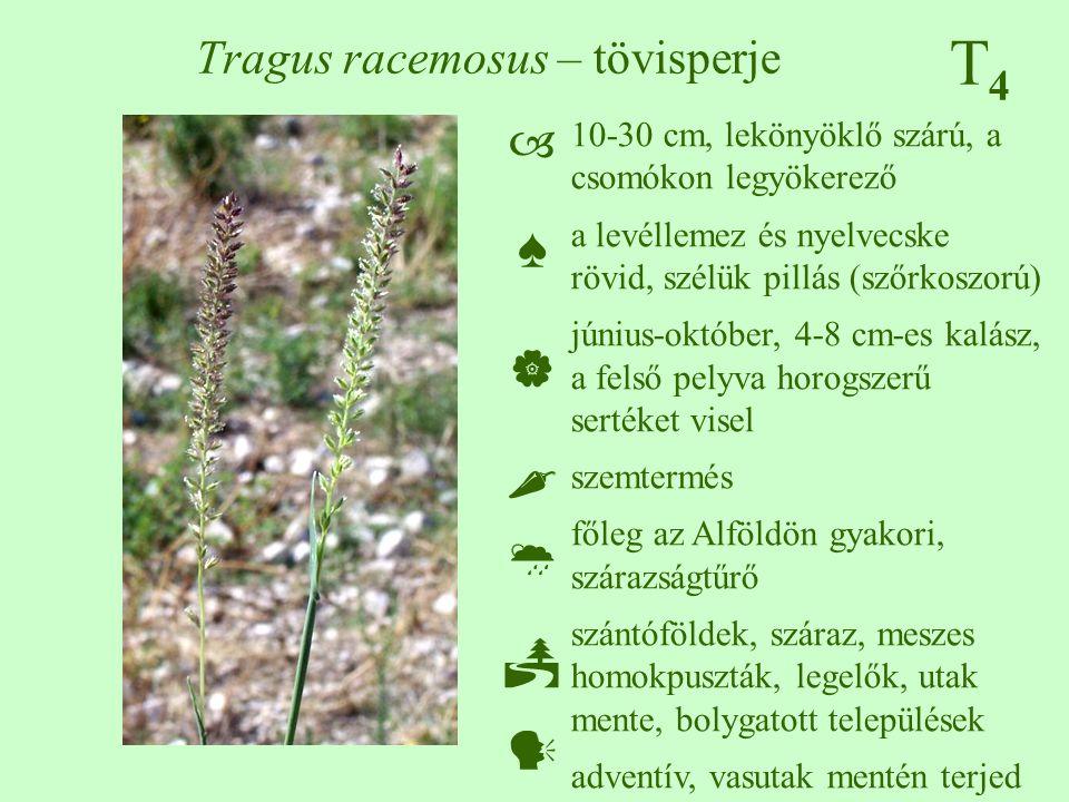 T4T4 Tragus racemosus – tövisperje 10-30 cm, lekönyöklő szárú, a csomókon legyökerező a levéllemez és nyelvecske rövid, szélük pillás (szőrkoszorú) jú
