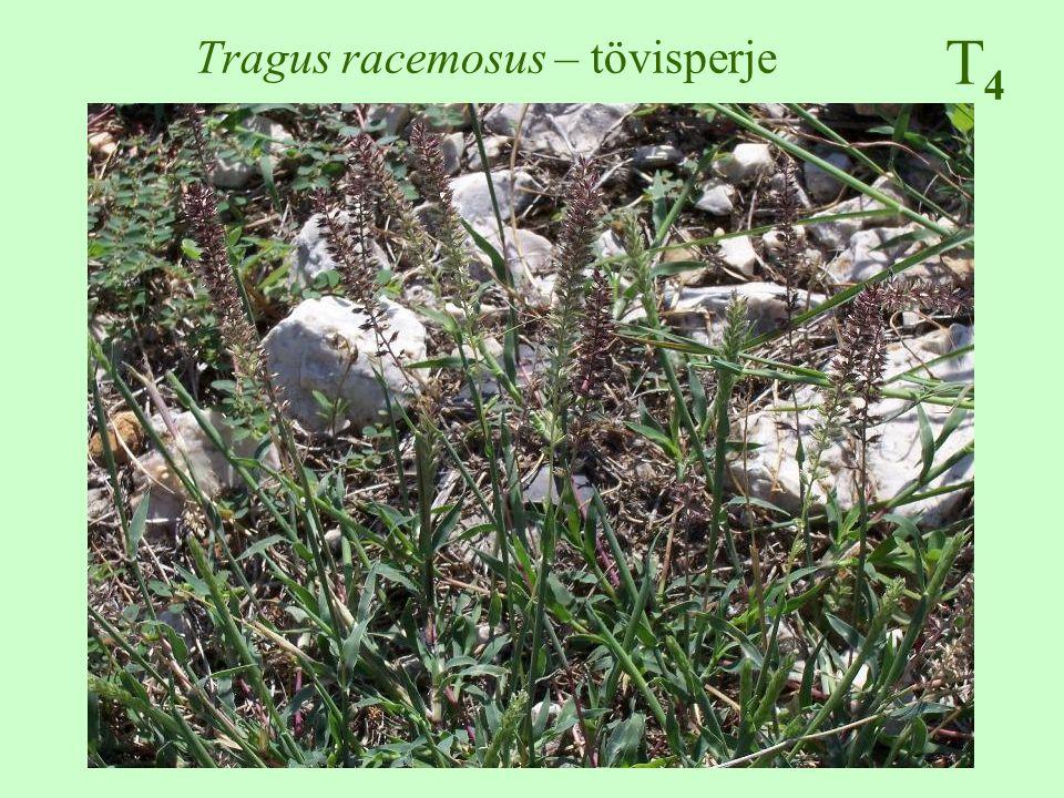T4T4 Tragus racemosus – tövisperje