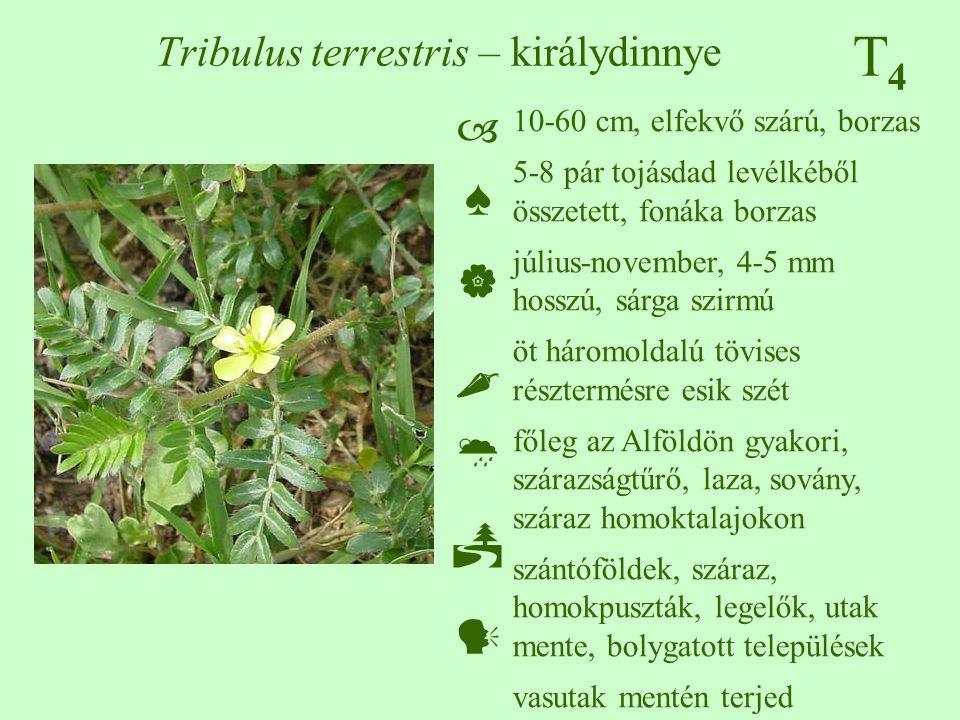 T4T4 Tribulus terrestris – királydinnye 10-60 cm, elfekvő szárú, borzas 5-8 pár tojásdad levélkéből összetett, fonáka borzas július-november, 4-5 mm h