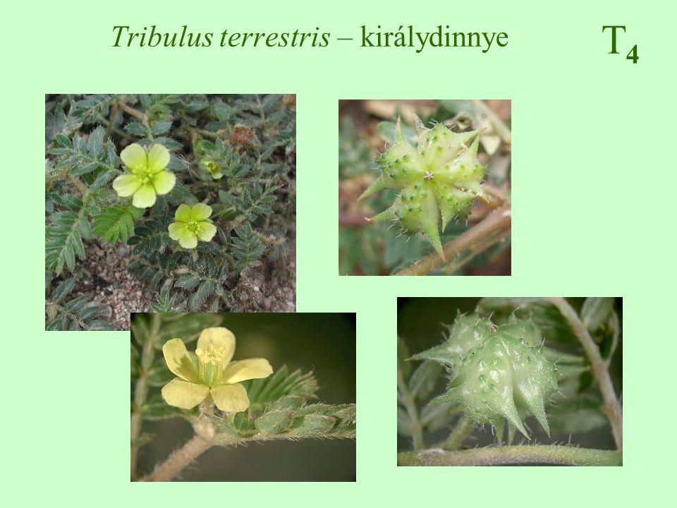 T4T4 Tribulus terrestris – királydinnye