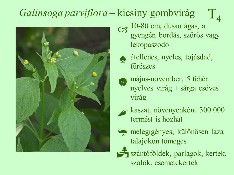 T4T4 Galinsoga parviflora – kicsiny gombvirág 10-80 cm, dúsan ágas, a gyengén bordás, szőrös vagy lekopaszodó átellenes, nyeles, tojásdad, fűrészes má