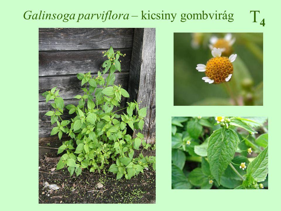 T4T4 Impatiens glandulifera – bíbor nebáncsvirág Angol neve: Himalayan balsam (Policeman's helmet), német neve: Indisches Springkraut 100-250 cm, egyszerű vagy elágazó, vörös, áttetsző, üveges 5-8 cm hosszú, tojásdad, fűrészes, a levélnyél mirigyes, felsők örvösek, alsók keresztben átellenesek, extraflorális nektáriumok július-október, 2,5-4 cm-es bíborszínű párta, színes csésze húsos, dinamochor toktermés ♠♠