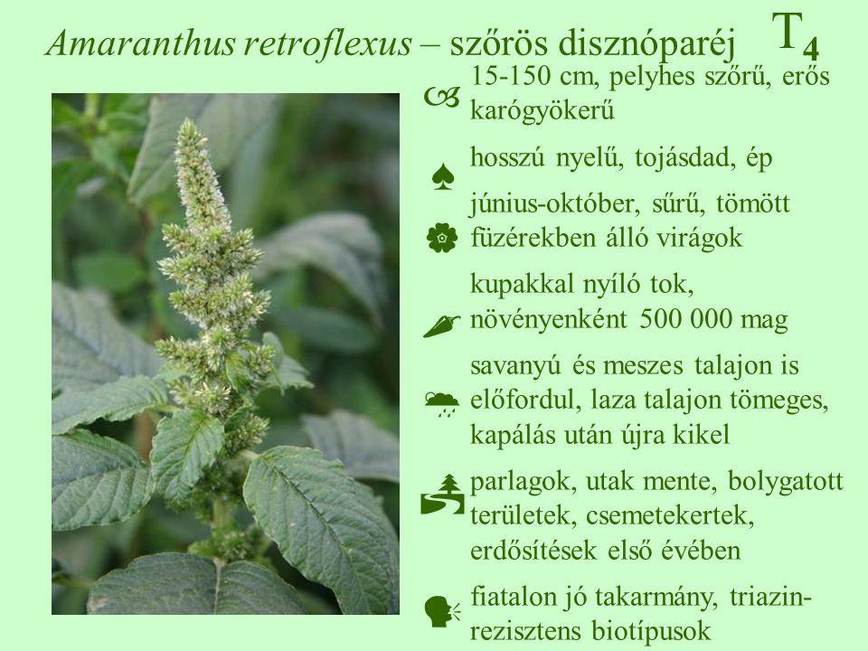 T4T4 Amaranthus retroflexus – szőrös disznóparéj 15-150 cm, pelyhes szőrű, erős karógyökerű hosszú nyelű, tojásdad, ép június-október, sűrű, tömött füzérekben álló virágok kupakkal nyíló tok, növényenként 500 000 mag savanyú és meszes talajon is előfordul, laza talajon tömeges, kapálás után újra kikel parlagok, utak mente, bolygatott területek, csemetekertek, erdősítések első évében fiatalon jó takarmány, triazin- rezisztens biotípusok  ♠    