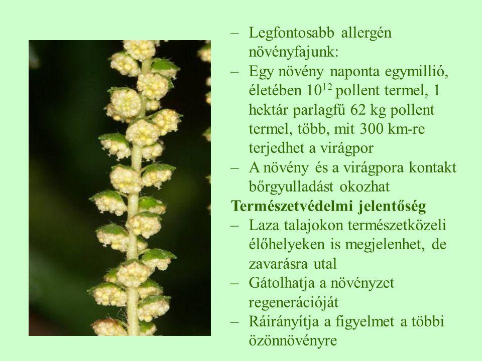 –Legfontosabb allergén növényfajunk: –Egy növény naponta egymillió, életében 10 12 pollent termel, 1 hektár parlagfű 62 kg pollent termel, több, mit 300 km-re terjedhet a virágpor –A növény és a virágpora kontakt bőrgyulladást okozhat Természetvédelmi jelentőség –Laza talajokon természetközeli élőhelyeken is megjelenhet, de zavarásra utal –Gátolhatja a növényzet regenerációját –Ráirányítja a figyelmet a többi özönnövényre