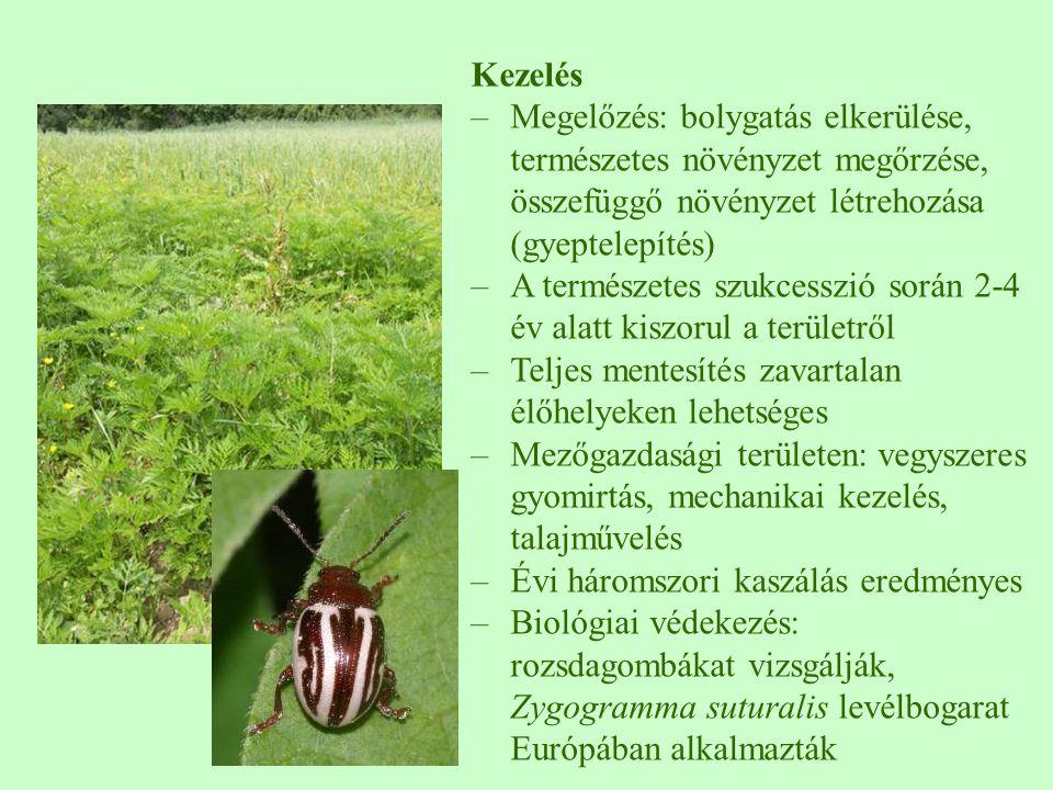 Kezelés –Megelőzés: bolygatás elkerülése, természetes növényzet megőrzése, összefüggő növényzet létrehozása (gyeptelepítés) –A természetes szukcesszió során 2-4 év alatt kiszorul a területről –Teljes mentesítés zavartalan élőhelyeken lehetséges –Mezőgazdasági területen: vegyszeres gyomirtás, mechanikai kezelés, talajművelés –Évi háromszori kaszálás eredményes –Biológiai védekezés: rozsdagombákat vizsgálják, Zygogramma suturalis levélbogarat Európában alkalmazták