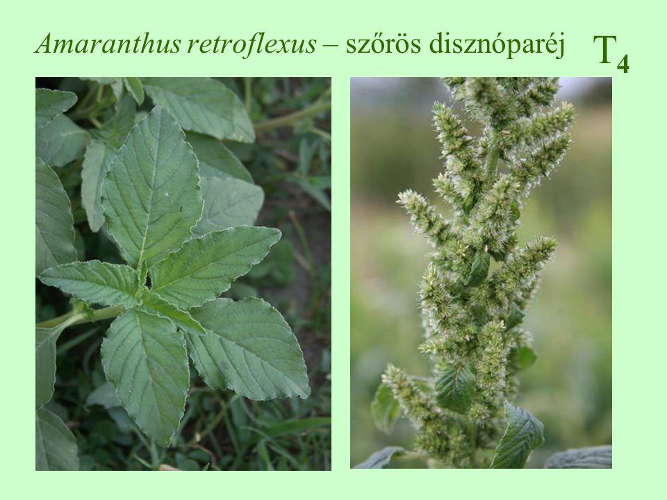 T4T4 Amaranthus retroflexus – szőrös disznóparéj