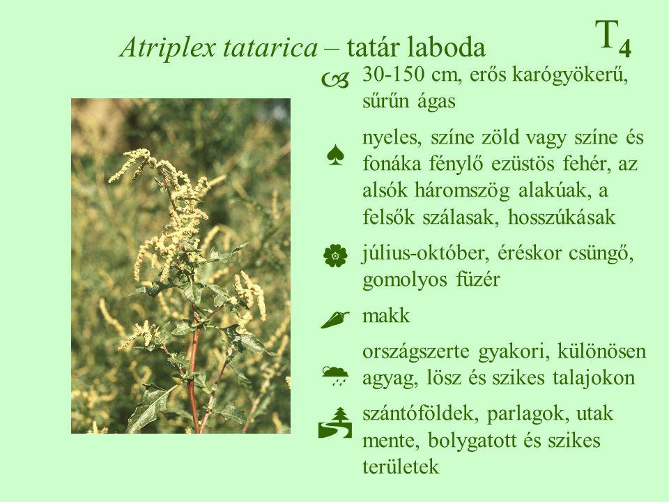 T4T4 Atriplex tatarica – tatár laboda 30-150 cm, erős karógyökerű, sűrűn ágas nyeles, színe zöld vagy színe és fonáka fénylő ezüstös fehér, az alsók háromszög alakúak, a felsők szálasak, hosszúkásak július-október, éréskor csüngő, gomolyos füzér makk országszerte gyakori, különösen agyag, lösz és szikes talajokon szántóföldek, parlagok, utak mente, bolygatott és szikes területek ♠♠