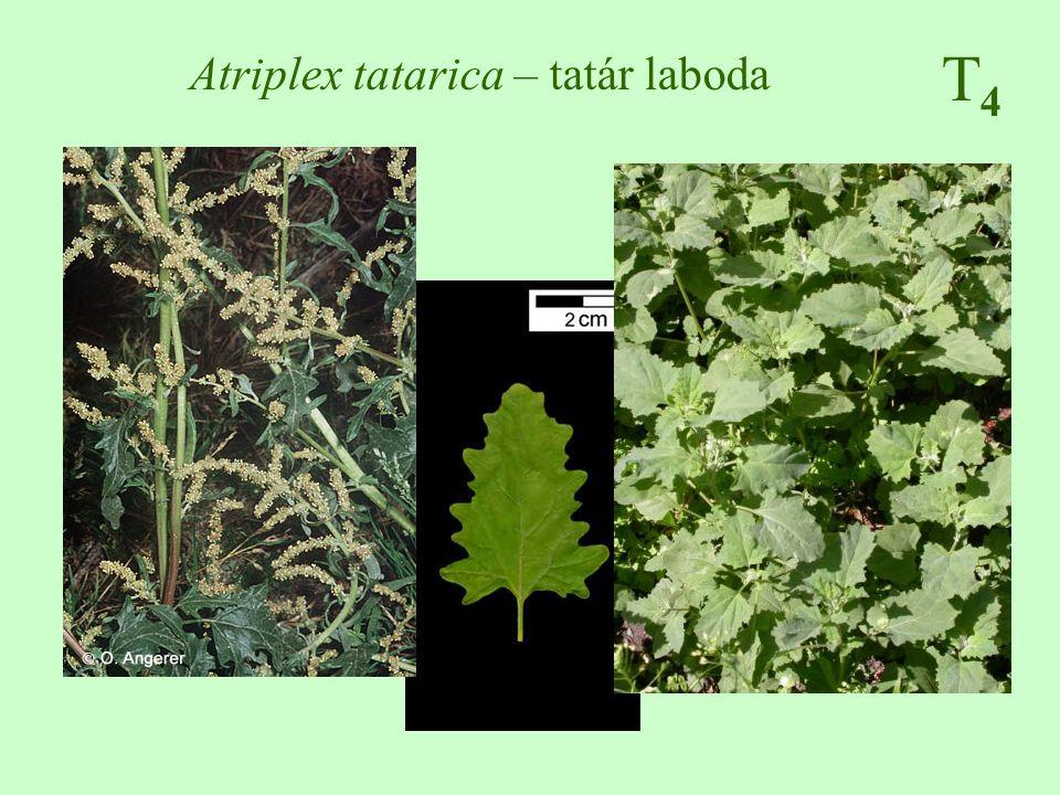 T4T4 Atriplex tatarica – tatár laboda