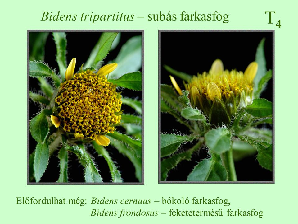 T4T4 Bidens tripartitus – subás farkasfog Előfordulhat még: Bidens cernuus – bókoló farkasfog, Bidens frondosus – feketetermésű farkasfog