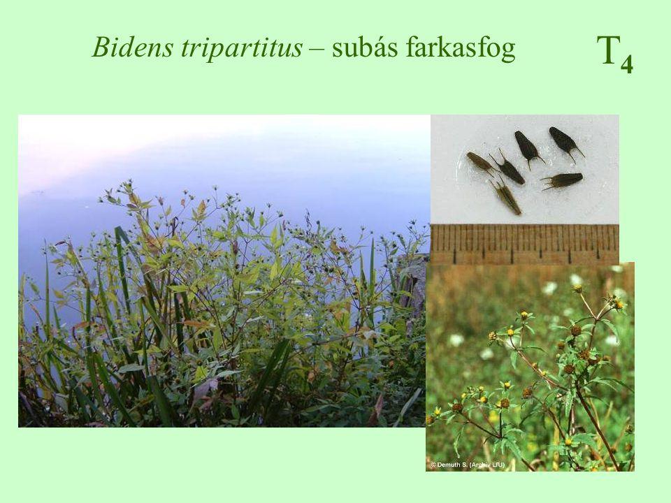 T4T4 Bidens tripartitus – subás farkasfog