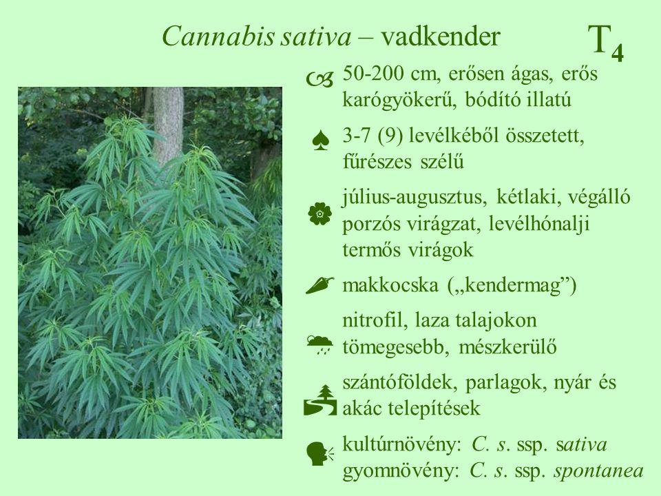 """T4T4 Cannabis sativa – vadkender 50-200 cm, erősen ágas, erős karógyökerű, bódító illatú 3-7 (9) levélkéből összetett, fűrészes szélű július-augusztus, kétlaki, végálló porzós virágzat, levélhónalji termős virágok makkocska (""""kendermag ) nitrofil, laza talajokon tömegesebb, mészkerülő szántóföldek, parlagok, nyár és akác telepítések kultúrnövény: C."""