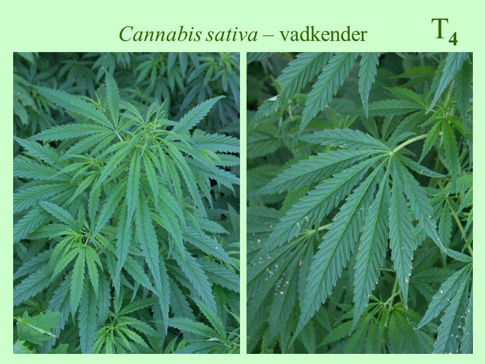 T4T4 Cannabis sativa – vadkender
