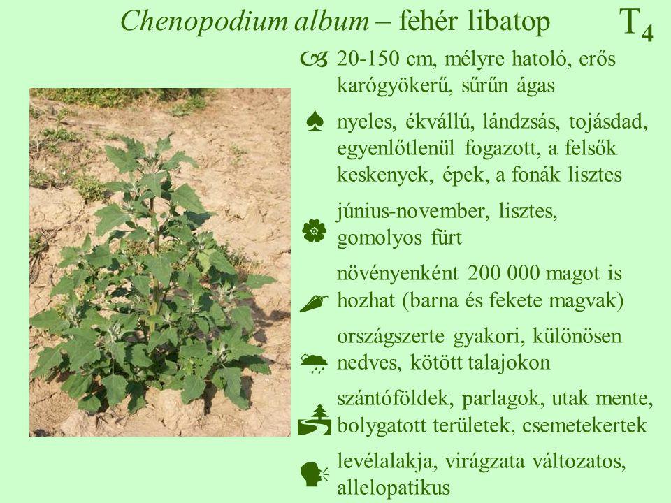 T4T4 Chenopodium album – fehér libatop 20-150 cm, mélyre hatoló, erős karógyökerű, sűrűn ágas nyeles, ékvállú, lándzsás, tojásdad, egyenlőtlenül fogazott, a felsők keskenyek, épek, a fonák lisztes június-november, lisztes, gomolyos fürt növényenként 200 000 magot is hozhat (barna és fekete magvak) országszerte gyakori, különösen nedves, kötött talajokon szántóföldek, parlagok, utak mente, bolygatott területek, csemetekertek levélalakja, virágzata változatos, allelopatikus  ♠    