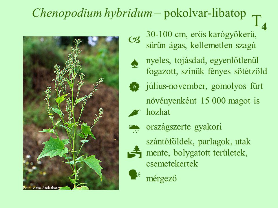 T4T4 Chenopodium hybridum – pokolvar-libatop 30-100 cm, erős karógyökerű, sűrűn ágas, kellemetlen szagú nyeles, tojásdad, egyenlőtlenül fogazott, színük fényes sötétzöld július-november, gomolyos fürt növényenként 15 000 magot is hozhat országszerte gyakori szántóföldek, parlagok, utak mente, bolygatott területek, csemetekertek mérgező  ♠    