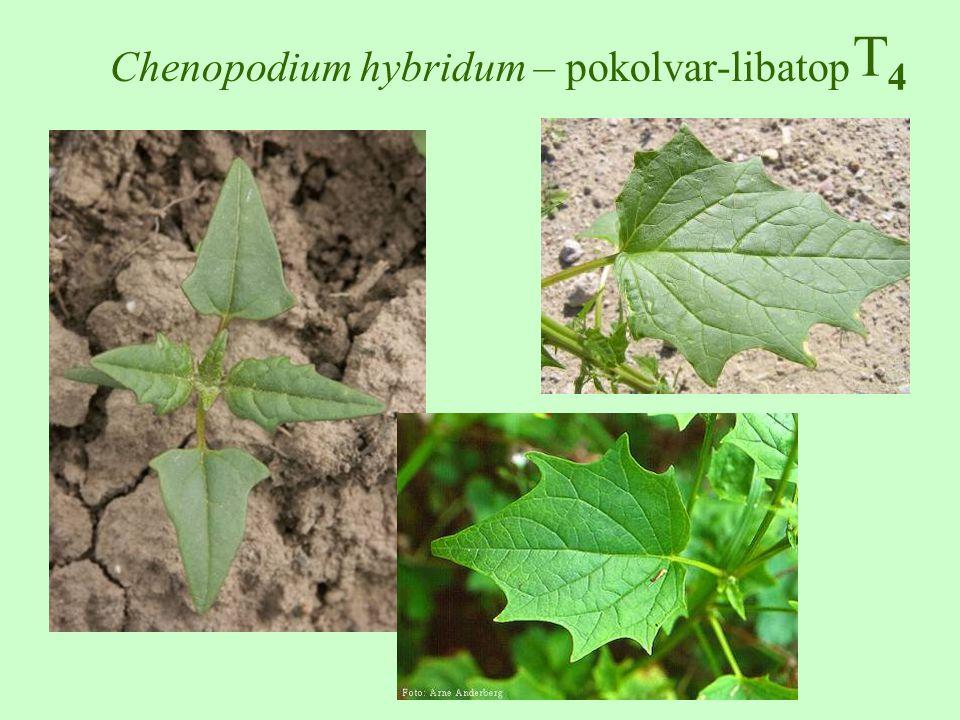 T4T4 Chenopodium hybridum – pokolvar-libatop