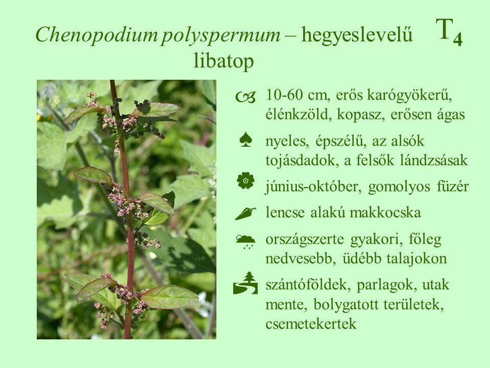T4T4 Chenopodium polyspermum – hegyeslevelű libatop 10-60 cm, erős karógyökerű, élénkzöld, kopasz, erősen ágas nyeles, épszélű, az alsók tojásdadok, a felsők lándzsásak június-október, gomolyos füzér lencse alakú makkocska országszerte gyakori, főleg nedvesebb, üdébb talajokon szántóföldek, parlagok, utak mente, bolygatott területek, csemetekertek ♠♠