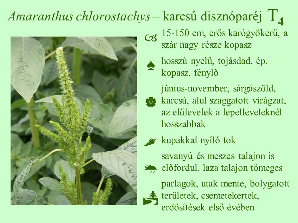 T4T4 Amaranthus chlorostachys – karcsú disznóparéj 15-150 cm, erős karógyökerű, a szár nagy része kopasz hosszú nyelű, tojásdad, ép, kopasz, fénylő június-november, sárgászöld, karcsú, alul szaggatott virágzat, az előlevelek a lepelleveleknél hosszabbak kupakkal nyíló tok savanyú és meszes talajon is előfordul, laza talajon tömeges parlagok, utak mente, bolygatott területek, csemetekertek, erdősítések első évében ♠♠