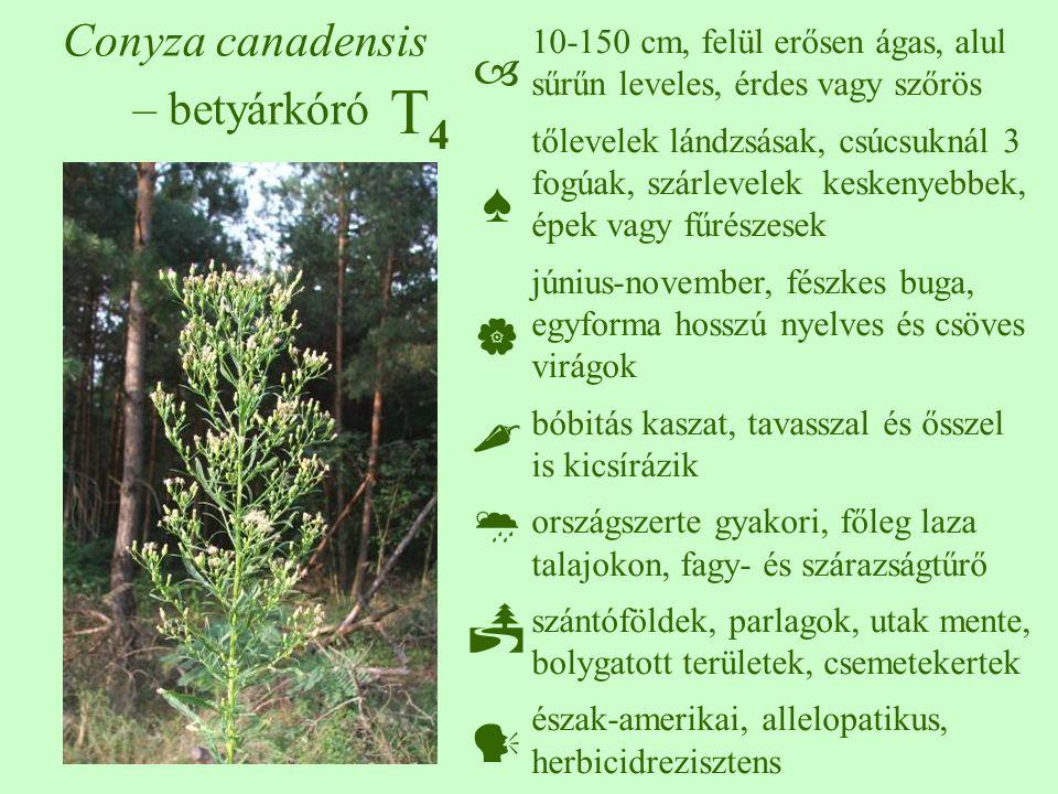T4T4 Conyza canadensis – betyárkóró 10-150 cm, felül erősen ágas, alul sűrűn leveles, érdes vagy szőrös tőlevelek lándzsásak, csúcsuknál 3 fogúak, szárlevelek keskenyebbek, épek vagy fűrészesek június-november, fészkes buga, egyforma hosszú nyelves és csöves virágok bóbitás kaszat, tavasszal és ősszel is kicsírázik országszerte gyakori, főleg laza talajokon, fagy- és szárazságtűrő szántóföldek, parlagok, utak mente, bolygatott területek, csemetekertek észak-amerikai, allelopatikus, herbicidrezisztens  ♠    