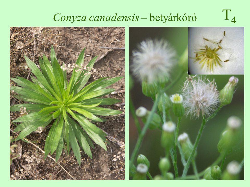 T4T4 Conyza canadensis – betyárkóró