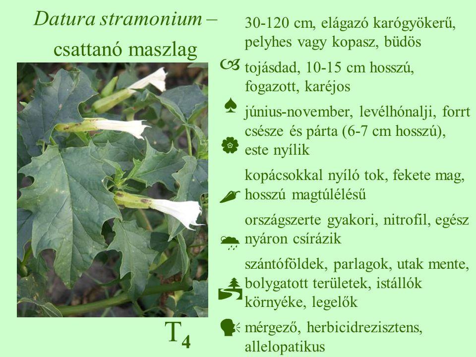 T4T4 Datura stramonium – csattanó maszlag 30-120 cm, elágazó karógyökerű, pelyhes vagy kopasz, büdös tojásdad, 10-15 cm hosszú, fogazott, karéjos június-november, levélhónalji, forrt csésze és párta (6-7 cm hosszú), este nyílik kopácsokkal nyíló tok, fekete mag, hosszú magtúlélésű országszerte gyakori, nitrofil, egész nyáron csírázik szántóföldek, parlagok, utak mente, bolygatott területek, istállók környéke, legelők mérgező, herbicidrezisztens, allelopatikus  ♠    