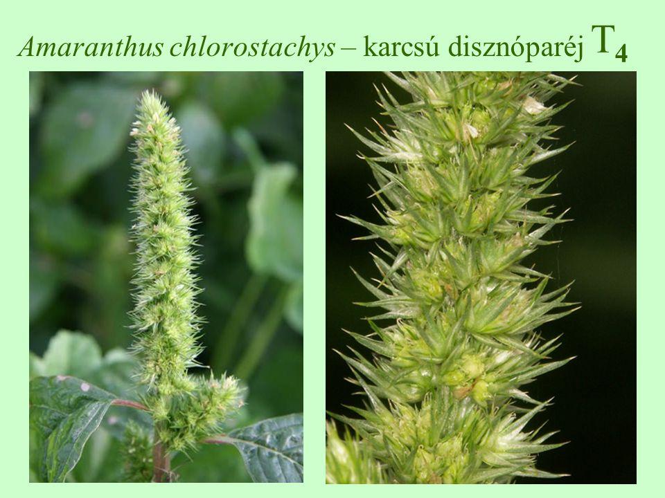 T4T4 Amaranthus chlorostachys – karcsú disznóparéj