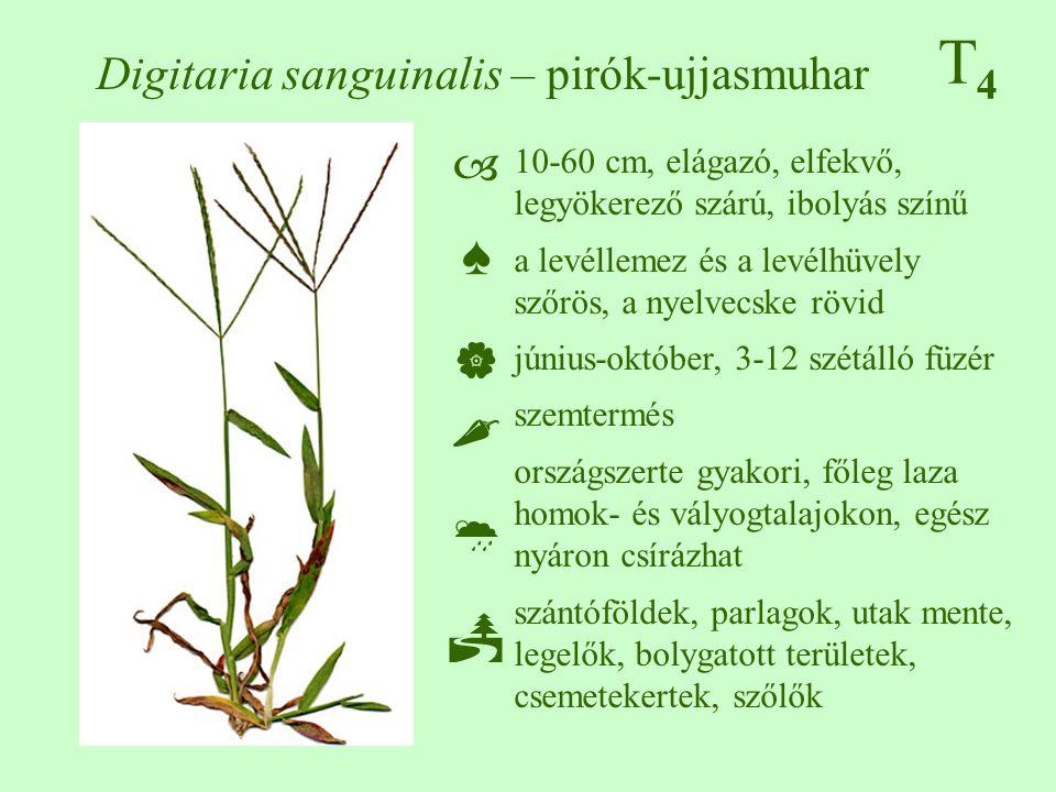 T4T4 Digitaria sanguinalis – pirók-ujjasmuhar 10-60 cm, elágazó, elfekvő, legyökerező szárú, ibolyás színű a levéllemez és a levélhüvely szőrös, a nyelvecske rövid június-október, 3-12 szétálló füzér szemtermés országszerte gyakori, főleg laza homok- és vályogtalajokon, egész nyáron csírázhat szántóföldek, parlagok, utak mente, legelők, bolygatott területek, csemetekertek, szőlők ♠♠