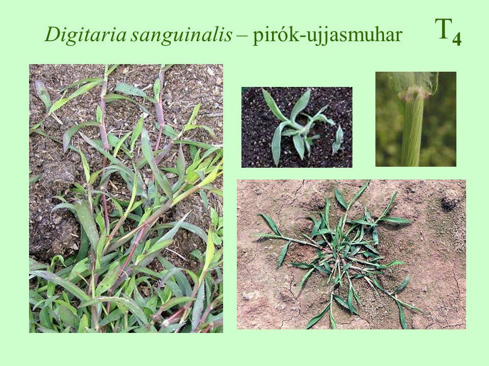 T4T4 Digitaria sanguinalis – pirók-ujjasmuhar