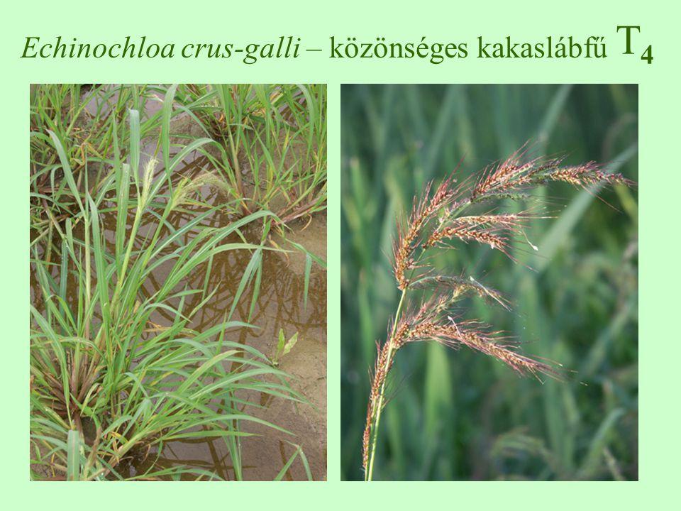 T4T4 Echinochloa crus-galli – közönséges kakaslábfű