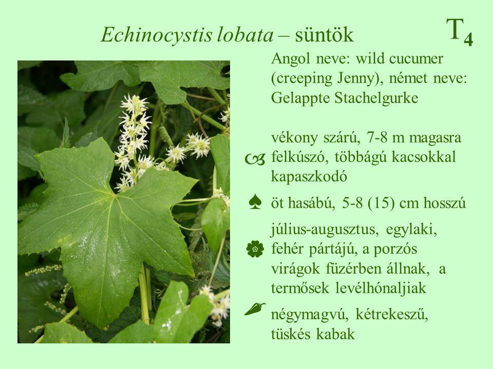 T4T4 Echinocystis lobata – süntök Angol neve: wild cucumer (creeping Jenny), német neve: Gelappte Stachelgurke vékony szárú, 7-8 m magasra felkúszó, többágú kacsokkal kapaszkodó öt hasábú, 5-8 (15) cm hosszú július-augusztus, egylaki, fehér pártájú, a porzós virágok füzérben állnak, a termősek levélhónaljiak négymagvú, kétrekeszű, tüskés kabak ♠♠